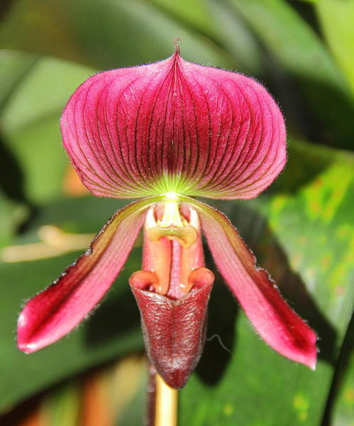 Photograph - Slipper Orchid 2 by Allen Nice-Webb