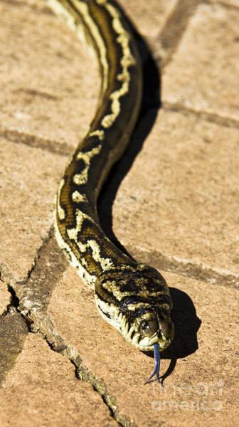 Rattlesnake Photograph - Slithering Snake by Jorgo Photography - Wall Art Gallery