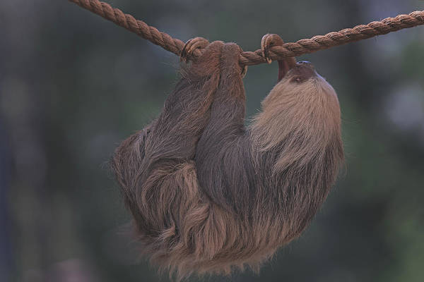 Photograph - Sloth by Brian Cross