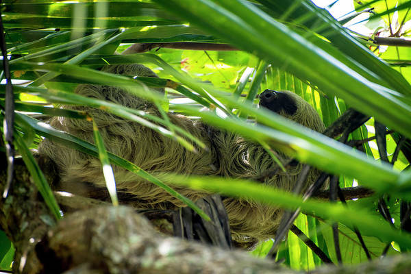 Photograph - Sloth Life by David Morefield