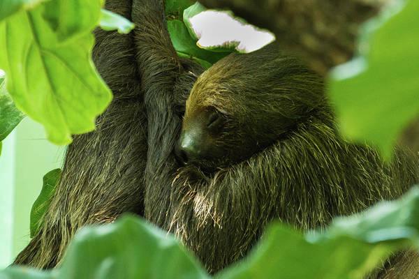 Sloth Sleeping Art Print