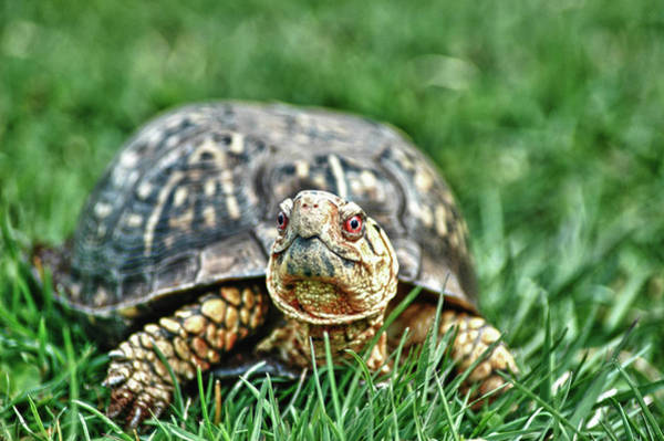 Box Turtle Photograph - Slow And Steady by Linda Pulvermacher