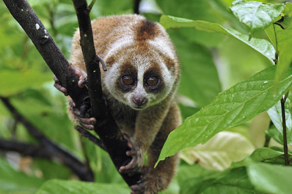 Photograph - Slow Loris Nycticebus Coucang, Northern by Thomas Marent