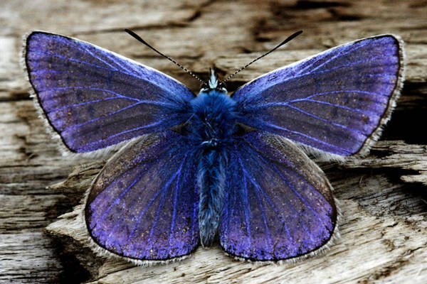 Photograph - Small Blue Butterfly On A Piece Of Wood In Ireland by Pierre Leclerc Photography