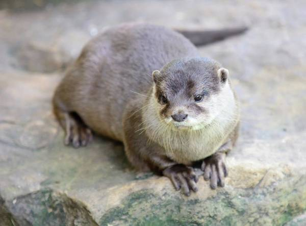 Aonyx Cinerea Photograph - Small-clawed Otter by Hamik ArtS