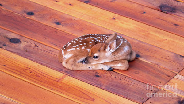 Photograph - Small Deer Fawn Resting On Cedar Wood Deck by PorqueNo Studios