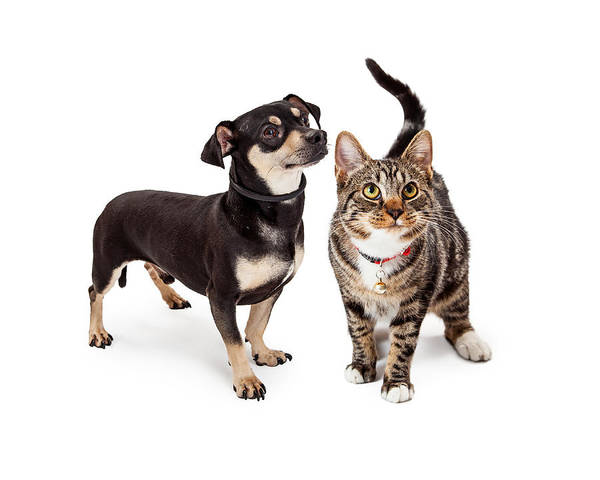 Crossbreed Wall Art - Photograph - Small Dog And Cat Looking Up Together by Susan Schmitz