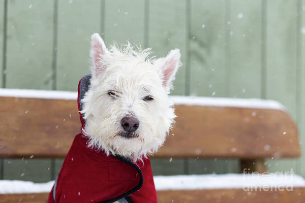 Wall Art - Photograph - Small Dog In A Coat During A Snow Storm by Edward Fielding