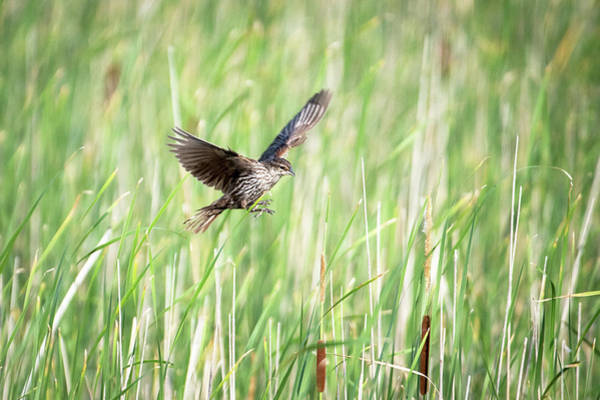 Wall Art - Photograph - Small Flying Bird by Catherine Lau