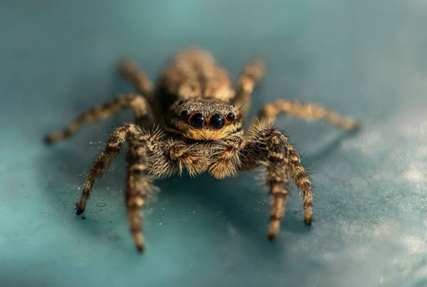 Photograph - Small Jumping Spider by Jaroslaw Blaminsky