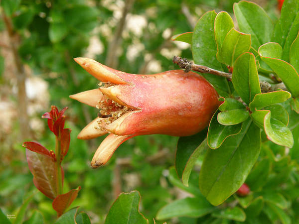 Photograph - Small Pomegranate by Augusta Stylianou