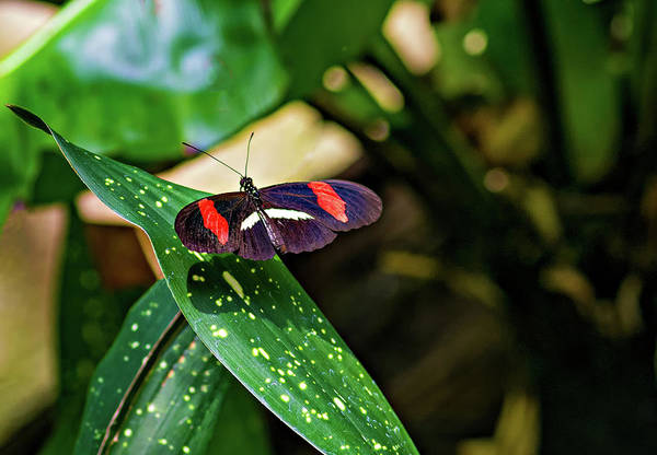 Passion Butterfly Photograph - Small Postman Butterfly by Steve Harrington