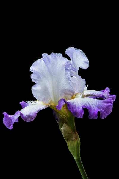 Photograph - Small Purple And White Iris by M