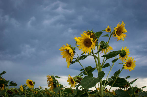 Photograph - Small Sunflowers by Stephen Holst
