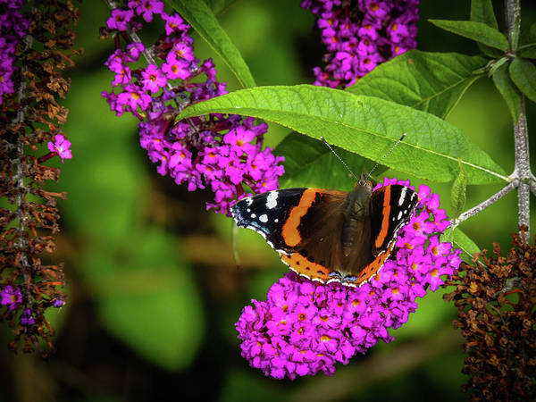Photograph - Small Tortoiseshell Butterfly In The Irish Countryside by James Truett