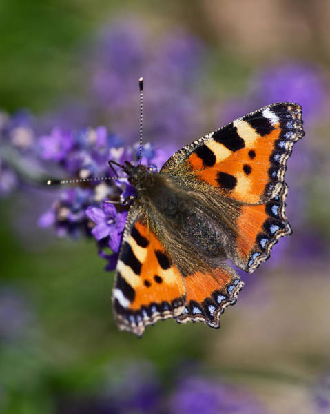 Photograph - Small Tortoiseshell by Pete Hemington