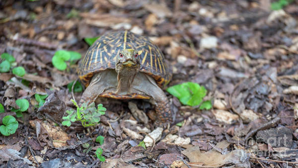 Photograph - Small Turtle With Red Eyes Looking Straight At The Camera by PorqueNo Studios