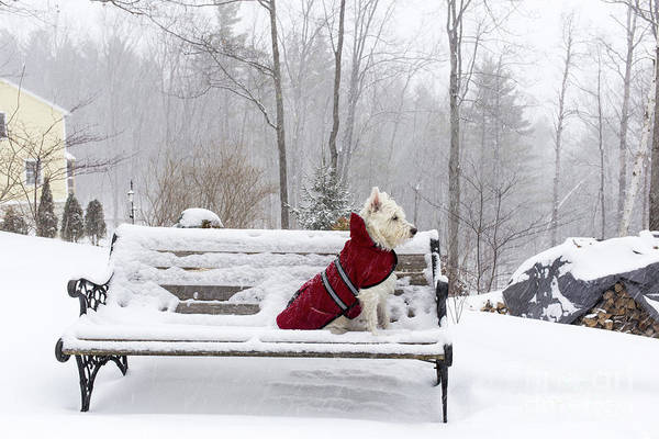 Wall Art - Photograph - Small White Dog In Snow Storm On Bench by Edward Fielding