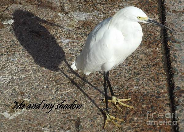 Ixobrychus Photograph - Small White Heron And Shadow by Linda Peglau