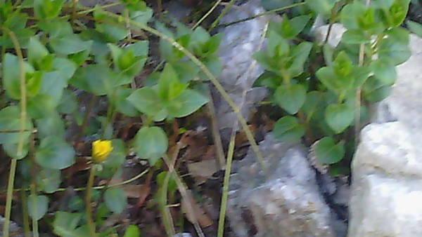 Death Wall Art - Photograph - Small Yellow Flower Among Stones And Leaves by Anamarija Marinovic
