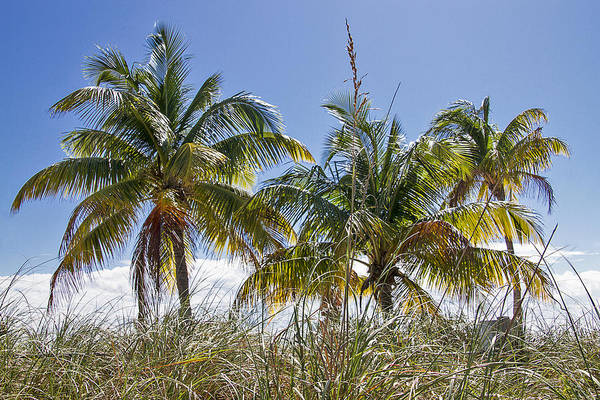 Photograph - Smathers Palms In Key West by Bob Slitzan