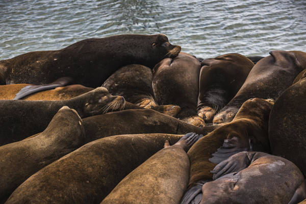 Photograph - California Sea Lions by Robert Potts