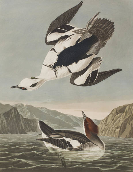 Art In America Painting - Smew Or White Nun by John James Audubon