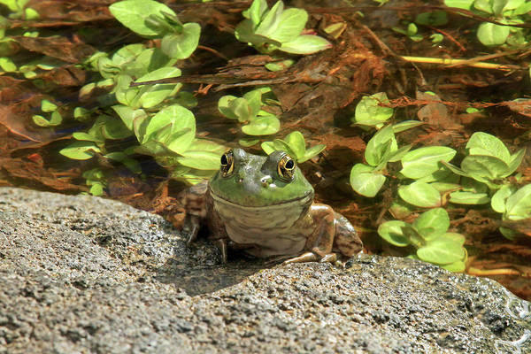 Bullfrog Photograph - Smile For The Camera by Donna Kennedy