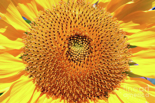Sunflower Seeds Photograph - Smile by Jessica Smith