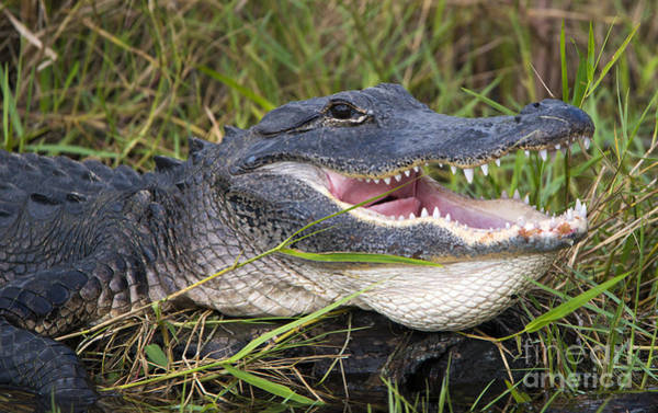 Alligators Wall Art - Photograph - Smile by Mike Dawson