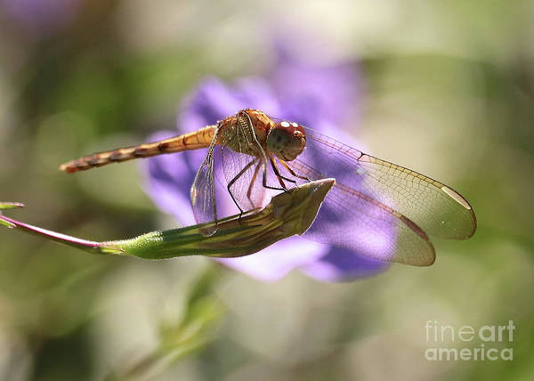 Wall Art - Photograph - Smiling Dragonfly by Carol Groenen