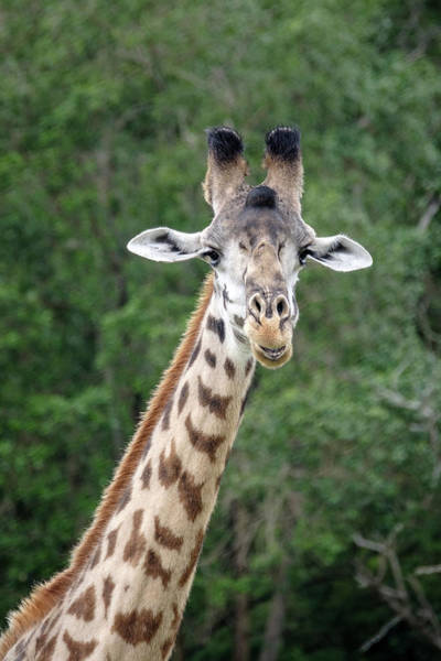 Photograph - Smiling Giraffe by Mary Lee Dereske