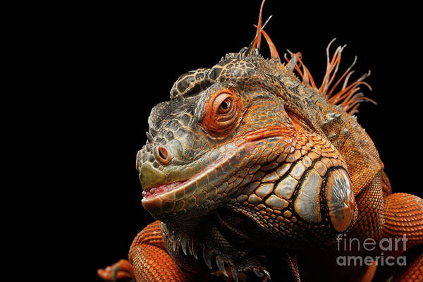 Photograph - smiling Orange iguana isolated on black  by Sergey Taran