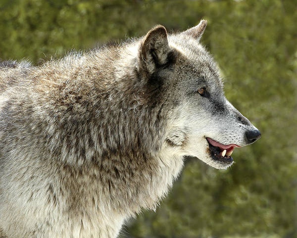 Photograph - Smiling Wolf by Scott Read
