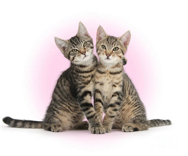 Photograph - Smitten Kittens Hug by Warren Photographic