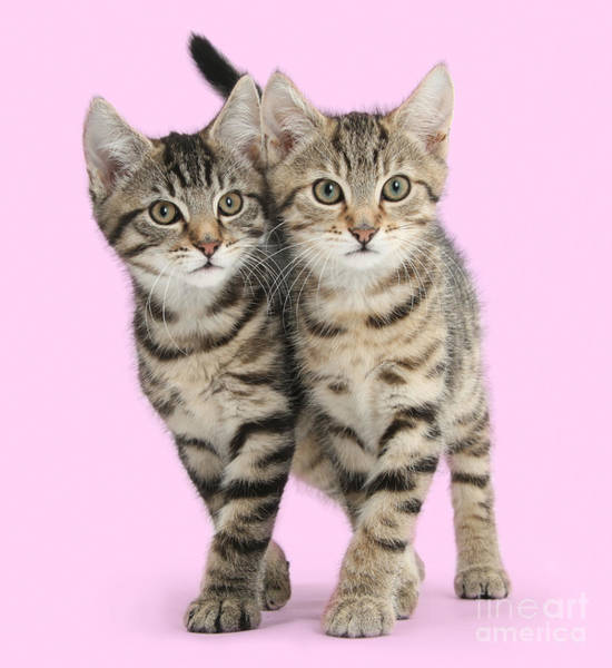 Photograph - Smitten Kittens In Synchrony by Warren Photographic