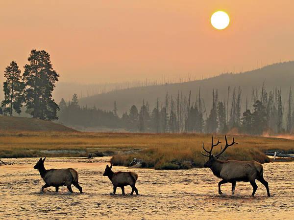 Smokey Elk Crossing Art Print
