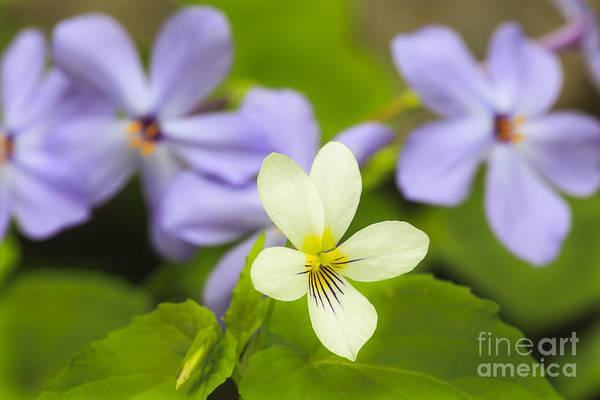 Photograph - Smokies Wild Violet by Richard Sandford