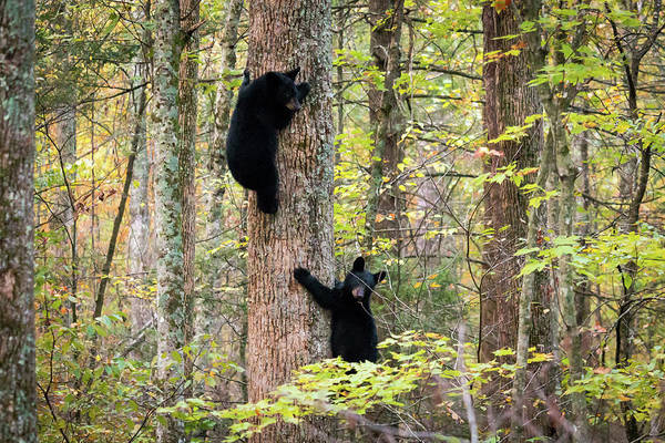 Photograph - Smoky Mountain Cubs by Chris Berrier