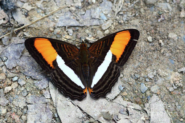 Photograph - Smooth-banded Sister Butterfly Adelpha Cytherea by James Brunker