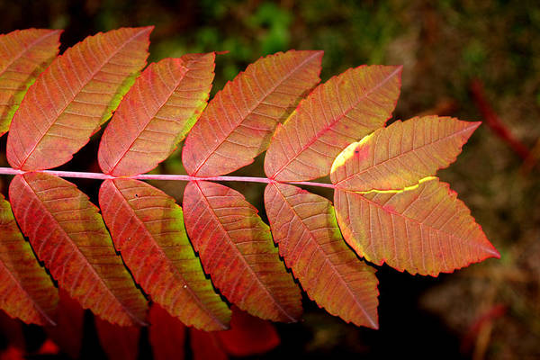 Photograph - Smooth Sumac by Robert Morin