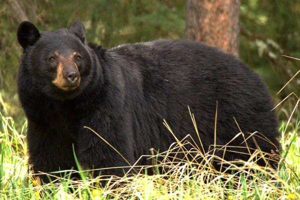 Photograph - Smug Black Bear by Adam Jewell