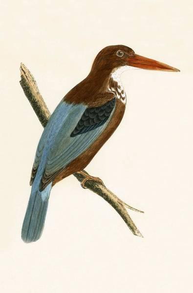 Wall Art - Painting - Smyrna Kingfisher by English School