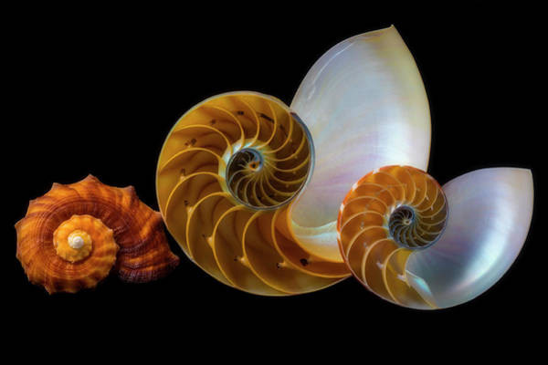 Wall Art - Photograph - Snail And Nautilus Shells by Garry Gay