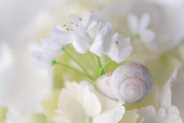 Photograph - Snail And White Flowers 2 by Giovanni Allievi