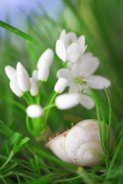 Photograph - Snail And White Flowers by Giovanni Allievi