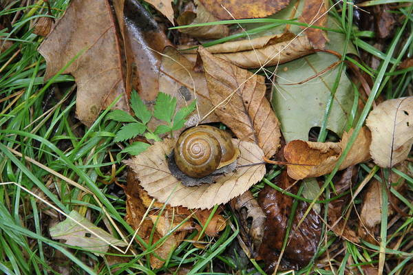 Photograph - Snail At Home by Allen Nice-Webb