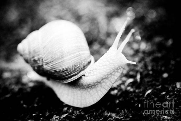 Photograph - Snail Crawling On The Stone Artmif by Raimond Klavins