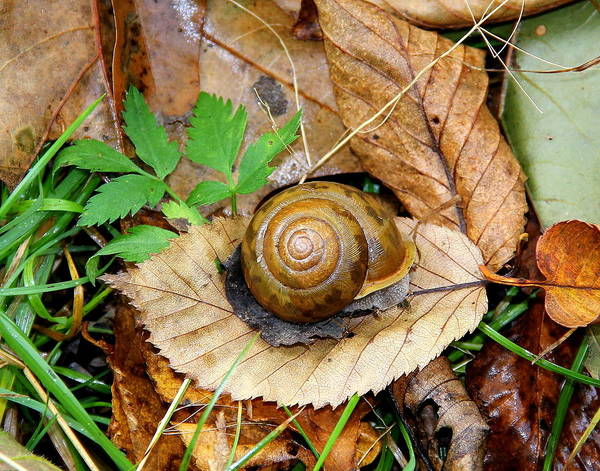 Photograph - Snail Home by Allen Nice-Webb