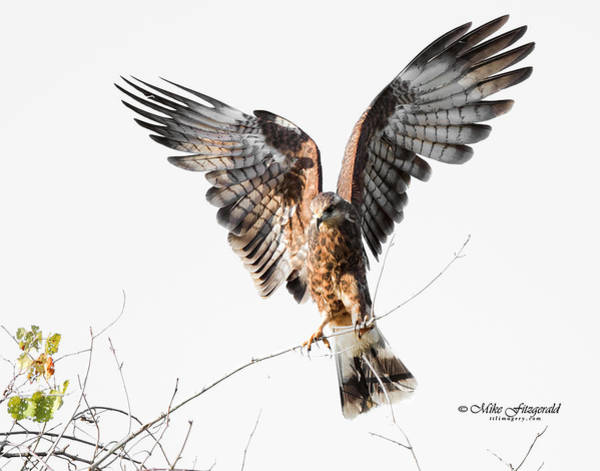 Photograph - Snail Kite Exposed by Mike Fitzgerald